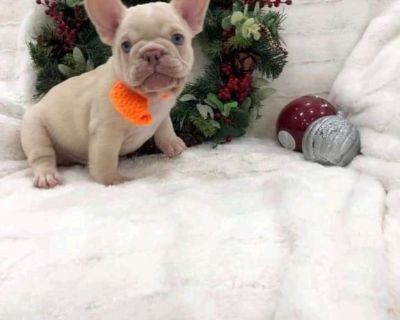 TITLE: LOVELY HOME TRAINED FRENCHIE PUPPIES AVAILABLE FOR REHOMING, TEXT (847) 802-9463