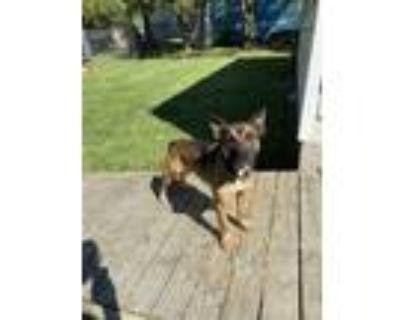 Adopt Ginger a German Shepherd Dog, Boxer