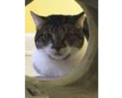 Adopt Monroe a Gray or Blue Domestic Shorthair / Domestic Shorthair / Mixed cat