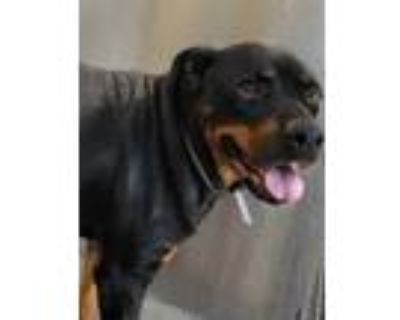 Adopt LADY a Black - with Tan, Yellow or Fawn Rottweiler / Mixed dog in Downey