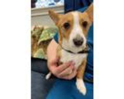 Adopt Maddie a White - with Red, Golden, Orange or Chestnut Corgi / Mixed dog in