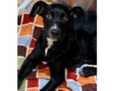 Adopt Gigi a Black - with White Labrador Retriever / Mixed dog in Morganville