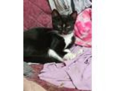 Jimmy, Domestic Shorthair For Adoption In Indianapolis, Indiana