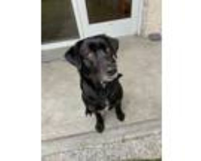 Adopt Louis a Black Retriever (Unknown Type) / Mixed dog in West Chester