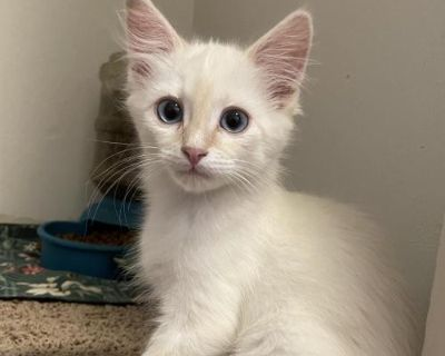 Male Domestic Short Hair named Stryker available for adoption