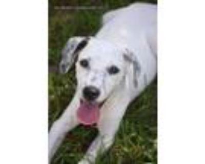 Adopt Adele a Labrador Retriever, Hound
