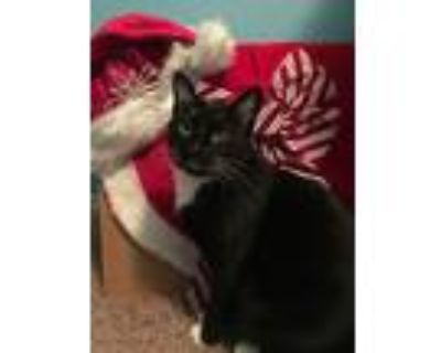 Adopt Salem a Black & White or Tuxedo Domestic Shorthair / Mixed (short coat)