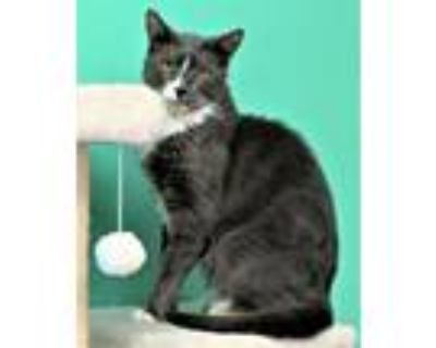 Adopt Boo a Gray or Blue (Mostly) Domestic Shorthair / Mixed (short coat) cat in