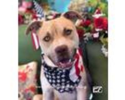 Adopt Adorable Bobby- Young, Handsome mixed breed a American Staffordshire