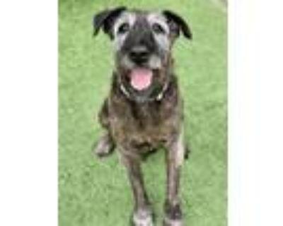 Adopt Mason a Irish Wolfhound
