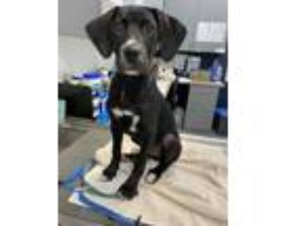Adopt Stevo a Black Retriever (Unknown Type) / Mixed dog in Greenwood