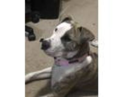 Adopt Sole (so-lay) a Brindle - with White American Pit Bull Terrier / Mixed dog