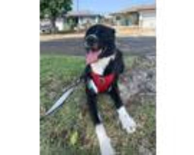 Adopt Enzo a Black - with White Border Collie / Terrier (Unknown Type