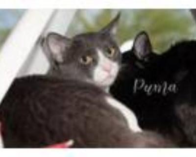 Adopt Puma a Domestic Short Hair