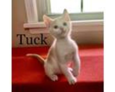 Adopt TUCK a Orange or Red (Mostly) Domestic Shorthair / Mixed (short coat) cat