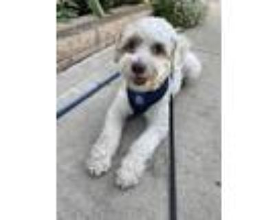 Adopt Charlie a White - with Tan, Yellow or Fawn Terrier (Unknown Type