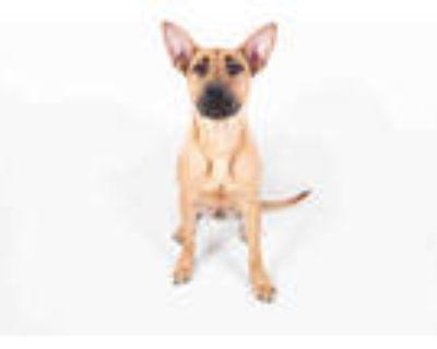 Adopt SAHARA a Brown/Chocolate - with White Labrador Retriever / Mixed dog in