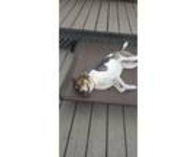 Adopt Rainbow a Beagle, Australian Cattle Dog / Blue Heeler