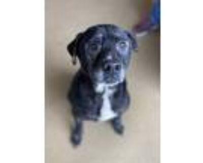Adopt Pear a Black Labrador Retriever / Mixed dog in Anderson, SC (31567390)