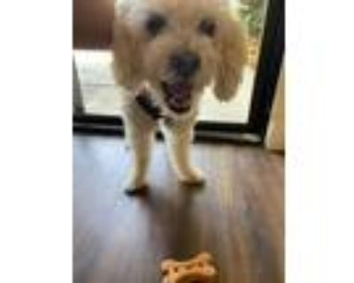 Adopt Jones a White Poodle (Miniature) / Mixed dog in Beverly Hills
