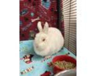 Adopt Ariel a White Netherland Dwarf / Netherland Dwarf / Mixed rabbit in