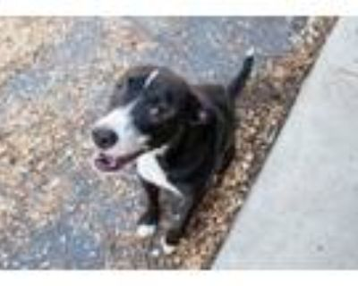 Adopt Tippy a Pit Bull Terrier, Mixed Breed