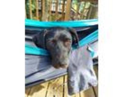 Adopt Fiona a Labrador Retriever