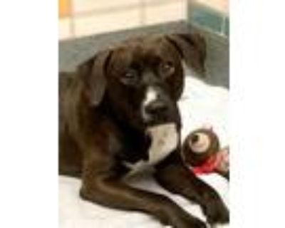 Adopt Kingsley a Black Retriever (Unknown Type) / Beagle / Mixed dog in Houston