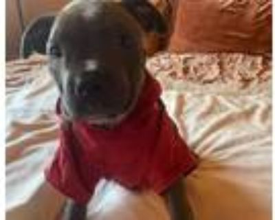 Adopt Miles-ADOPT Me! a Pit Bull Terrier