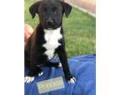 Adopt Princess F a Black - with White Collie / Mixed Breed (Medium) / Mixed dog