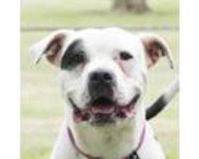 Adopt Petey a White - with Black Pit Bull Terrier / Mixed dog in Troy