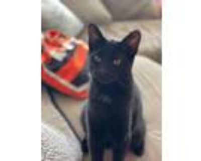 Adopt Reed a Domestic Shorthair / Mixed (short coat) cat in Kettering