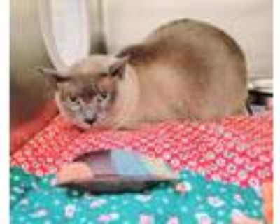 Adopt Franklin a Tonkinese