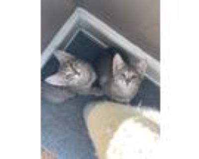 Adopt Diva a Gray, Blue or Silver Tabby American Shorthair / Mixed cat in