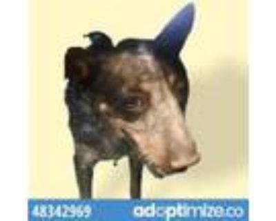 Adopt 48342969 a Black Blue Heeler / Mixed dog in El Paso, TX (32111922)