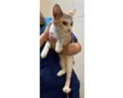 Adopt Pantera a American Bobtail, Domestic Short Hair