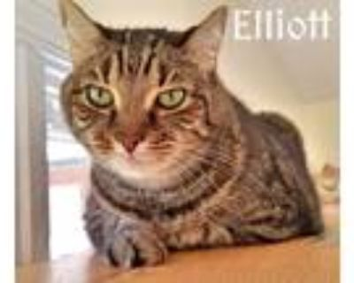 Adopt Elliot a Gray, Blue or Silver Tabby Domestic Shorthair (short coat) cat in