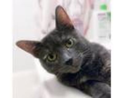 Adopt Corina a Gray or Blue Domestic Shorthair / Mixed cat in Palatine