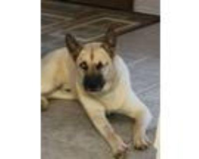 Adopt RILEY a Siberian Husky, German Shepherd Dog