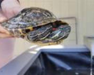 Adopt Squirt a Turtle - Other reptile, amphibian, and/or fish in Brea