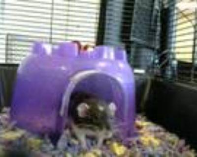 Adopt ASH a Rat