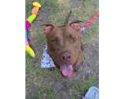 Adopt Casey a American Staffordshire Terrier, Pit Bull Terrier