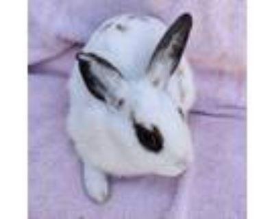 Adopt Starlight a White Dwarf Hotot / Mixed (short coat) rabbit in Los Angeles