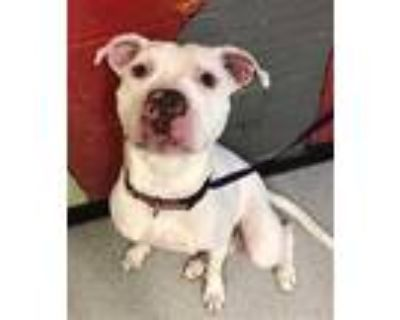 Adopt MOOCH a White American Pit Bull Terrier / Mixed dog in Indianapolis