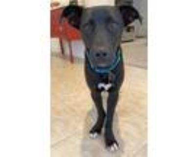 Adopt Benson Lonestar* a Black Labrador Retriever / Cattle Dog / Mixed dog in
