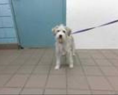 Adopt DAISY a White - with Gray or Silver Schnauzer (Miniature) / Mixed dog in