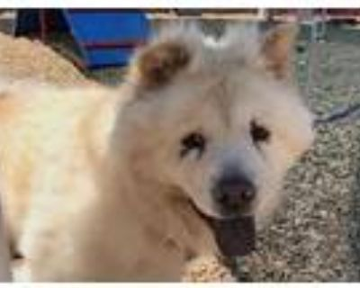 Adopt FUZZLE a Tan/Yellow/Fawn Chow Chow / Mixed dog in Albuquerque