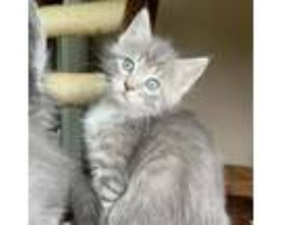 Adopt Sadie's Prim a Domestic Shorthair / Mixed cat in Potomac, MD (31634954)