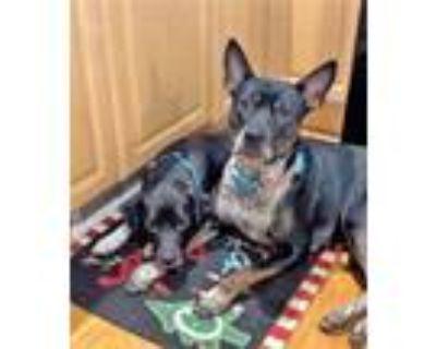 Adopt Sophie a Australian Cattle Dog / Blue Heeler