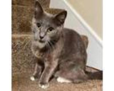 Adopt Donner a Gray or Blue Domestic Shorthair / Mixed cat in Winchester